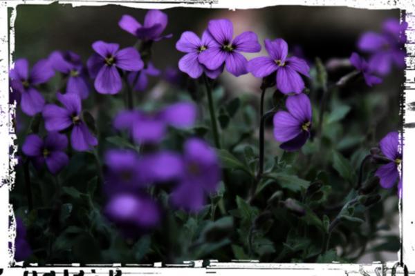 purple flower taken in garden