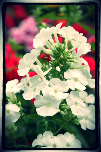 white flower photo taken in the garden