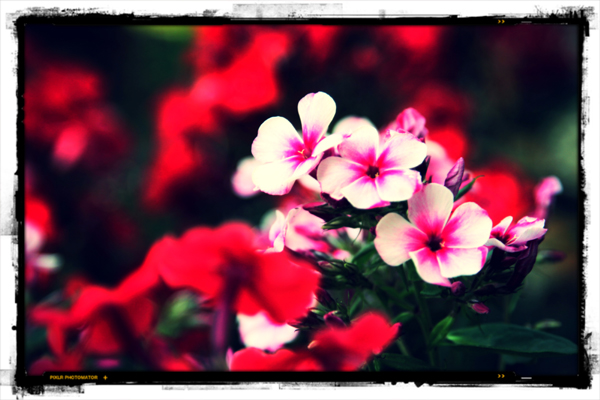 pink flower photography