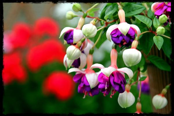 purple flower photo in the garden